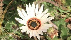 A white gazania with a bug on it. - stock footage