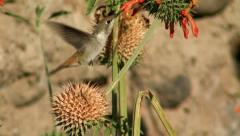 "Oasis Hummingbird female feeds on ""Lion's Tail"" at Chaca Oasis, Chile Stock Footage"