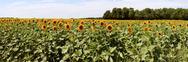 Sunflowers Stock Photos