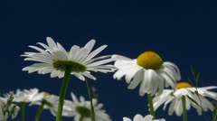 Camomile on Blue Sky - Baltic Sea, Northern Germany Stock Footage