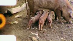 SUCKLING BABY Piglet Sow Pigs Hog Farm 1960 (Vintage Old Film Home Movie) 5911 Stock Footage