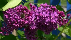 Beautiful Lilac - Genus Syringa - Northern Germany Stock Footage
