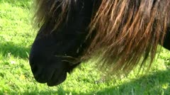 Icelandic Horse in Mecklenburg - Baltic Sea Coast, Northern Germany Stock Footage