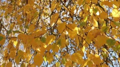 Silver birch tree leaves waving in the wind in autumn Stock Footage