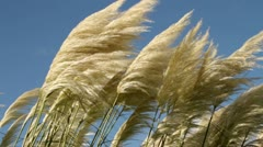 Pampas grass blowing in the wind Stock Footage