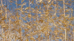 Ornamental grass blowing in the wind Stock Footage