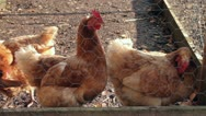 Chickens in a hen coop Stock Footage