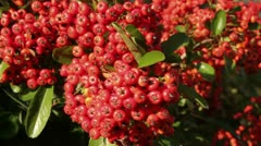 Pyracantha or firethorn berries in the Fall Stock Footage