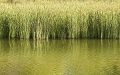Tall reeds in a pond casting reflections Stock Photos
