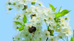 Bumblebee on the flowers of apple Stock Footage