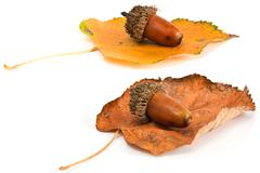 Acorns and leafs isolated on white Stock Photos
