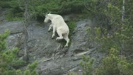 Stock Video Footage of Mountain Goat 01