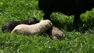 Stock Video Footage of Beautiful Adorable Cute Puppies, Newborn Dogs Looking for Friends, Feeding
