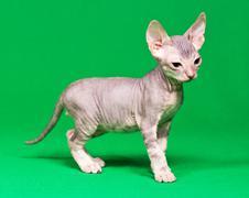Don sphynx kitten Stock Photos