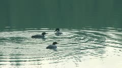 Wild Loons 08 Stock Footage