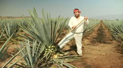 Stock Video Footage of agave field