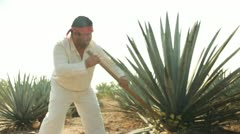 Man in agave field - stock footage