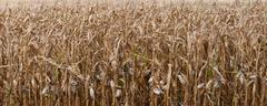Dead corn Stock Photos
