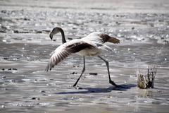 gray flamingo - stock photo