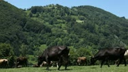 Stock Video Footage of Cows grazing on the meadow, Beautiful Landscape, Green Hills, Herd, Group