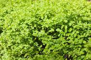 Green bush background Stock Photos