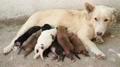 Stray dog pups breast feeding Stock Footage