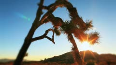 Scary Joshua Tree with Sun Silhouette Behind Stock Footage