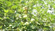 Stock Video Footage of Picking Green Apple from Tree