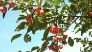 Stock Video Footage of Picking Red Apple from Tree