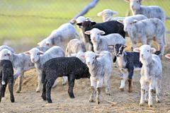 cute little lambs - stock photo