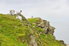 Irish sheep on carrigan head mountain Stock Photos