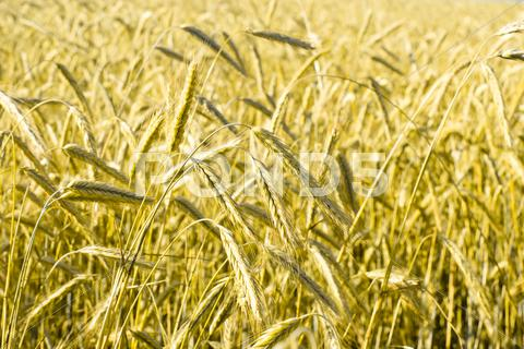 Stock photo of wheatfield