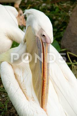 Stock photo of pelican