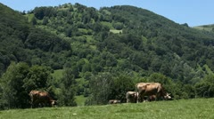Cows grazing on the meadow, Beautiful Landscape, Green Hills, Herd, Group Stock Footage