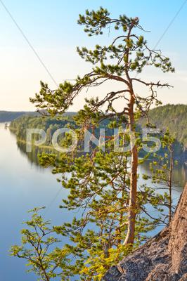 Stock photo of pine