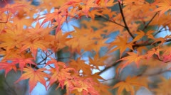 Autumn twig with blue sky in the background. - stock footage