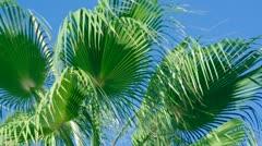 Beauty palmuja Antalyassa, Turkissa. Arkistovideo