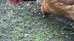 Chickens feeding on the ground close up Stock Footage