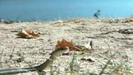 Snake on Lake Beach in Fall Stock Footage