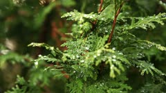 Water drops on thuja tree branch 1 Stock Footage