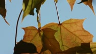 Two yellow maple leaves Stock Footage