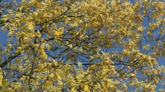 European ash in autumn Stock Footage