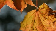 Shaking maple leaves in autumn Stock Footage