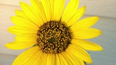 Sunflower at Sunset Stock Footage