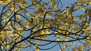 Yellow maple leaves and blue sky Stock Footage