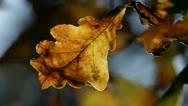 Oak leaf in autumn Stock Footage