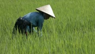 Woman in rice field, wearing traditional hat. Ho Chi Minh, Vietnam. Stock Footage