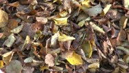 Big sack of autumn dried leaves in park Stock Footage