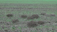 Molehills on autumn crop field Stock Footage