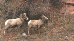 P02425 Bighorn Sheep Ram and Ewe in Snowfall Stock Footage